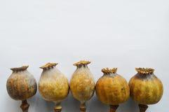 Poppyhead sec photographie stock
