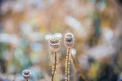 Poppyhead zwei auf Feld Stockfotos