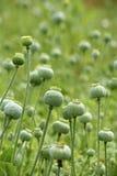 Poppyheads verdes imagen de archivo libre de regalías