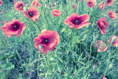 Poppyies 免版税图库摄影