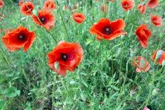 Poppyies Fotografia Royalty Free