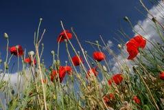 Poppyland Fotografia Stock