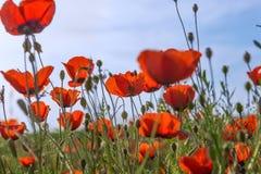 Poppys草地早熟禾自然 库存图片