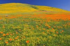 poppys цветеня полные стоковое изображение