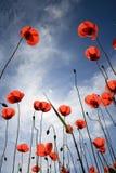 Poppys Royalty-vrije Stock Afbeeldingen