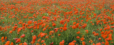 Poppys. Field of poppys,background and beauty Stock Photography