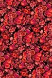Poppys Stock Photo