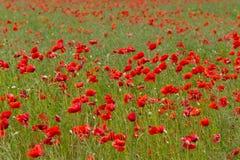 Poppys Στοκ Εικόνες