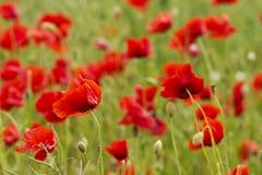 Poppys Stock Fotografie