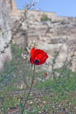 Poppys. Lone poppy.. Background out of focus stock photos