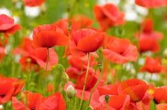 Poppys Stockbilder