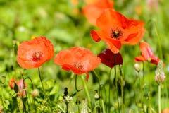 Poppys Lizenzfreie Stockfotos
