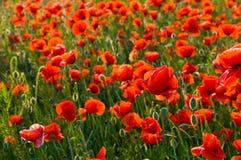 poppys Obrazy Stock