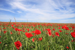 Poppys auf dem Feld stockfotografie