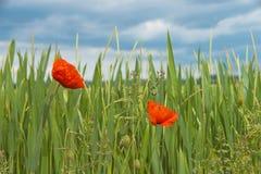 Poppys del cereale prima di un temporale Fotografia Stock