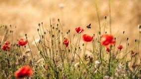 Poppys del verano con el insecto Fotos de archivo