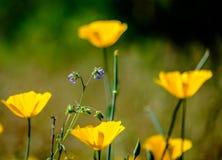 Poppys derrière la fleur bleue Images stock