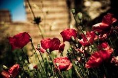 Poppys em Ostia Antica Foto de Stock Royalty Free