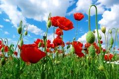 Poppys en hemel Stock Foto