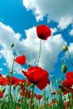 Poppys en hemel Stock Fotografie