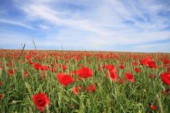 Poppys on the field Stock Photography