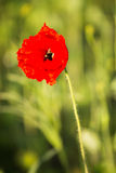 Poppys Royalty Free Stock Photography