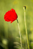 Poppys Royalty Free Stock Photography