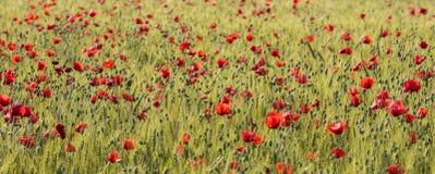 Poppys Grain Field. Orange poppy flowers in grain field Stock Image