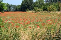 Poppys growing wild in a farm field. stock images