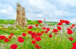 Poppys in Perge Stock Photos