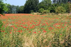Poppys que crece salvaje en un campo de granja. imagenes de archivo