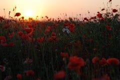 Poppys rouges dans le coucher du soleil Photo stock