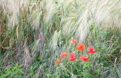 Poppys in un campo di orzo Immagine Stock