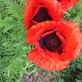 Poppys stock photography