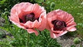 Poppyssomniferum stock afbeeldingen