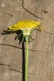 Poprzeczna sekcja żółty dandelion obraz royalty free