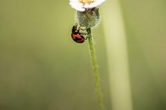 Poprzeczny ladybird lub poprzeczna damy ściga Obrazy Royalty Free