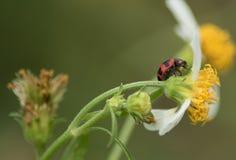 Poprzeczny ladybird lub poprzeczna damy ściga Fotografia Royalty Free