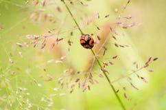 Poprzeczny ladybird lub poprzeczna damy ściga Zdjęcie Royalty Free