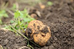 Poptato. Freshly dug potatoes on a field blurred background Stock Image