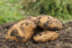 Poptato. Picture Freshly dug potatoes on a field Royalty Free Stock Photos