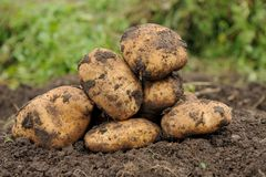 Poptato. Picture Freshly dug potatoes on a field Stock Images