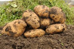 Poptato. Picture Freshly dug potatoes on a field Royalty Free Stock Photography