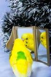 Popugay seine Reflexion in einem Spiegel. Lizenzfreies Stockfoto