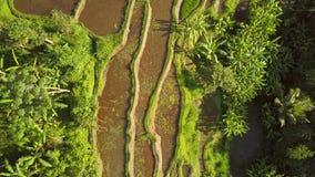 Populära ris Paddy Fields i Ubud 4K antenn bali indonesia lager videofilmer