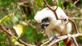 Populärer kleiner Affe Tamarin im Wald mit der Zunge Stockfoto