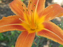Populair daylily Stock Afbeelding