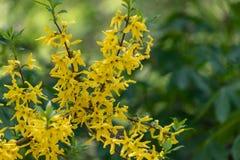 Populaire dans la journ?e de printemps ensoleill?e de belles fleurs d'or jaune de fleurs de forsythia d'arbuste de l'Europe en pa image libre de droits