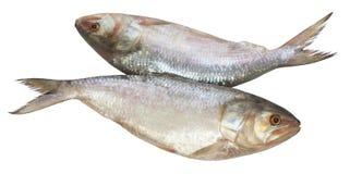Populaire vissen Ilish van Zuidoost-Azië stock foto's
