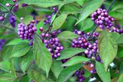 Popular Bodinier Beauty Berry Stock Photography